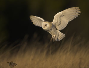 Birdwatching holidays in North Notfolk - Barn Owl