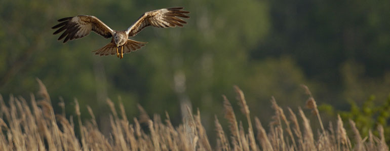 Birdwatching Holidays in North Norfolk - Marsh Harrier